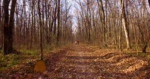 步行在落叶秋天森林里 影视素材