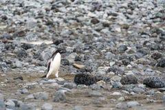 步行沿着向下单独多岩石的海滩的Adelie企鹅,南设得兰群岛,南极洲 免版税库存照片