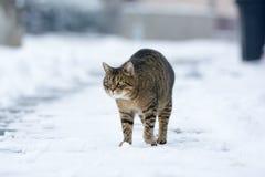 步行沿着向下多雪的街道的镶边猫在冬天 免版税图库摄影