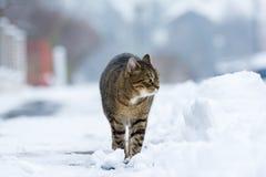 步行沿着向下多雪的街道的镶边猫在冬天 图库摄影