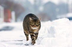 步行沿着向下多雪的街道的镶边猫在冬天 免版税库存图片