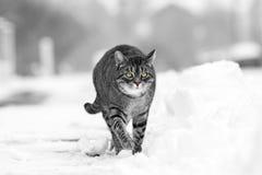 步行沿着向下多雪的街道的镶边猫在冬天 库存照片