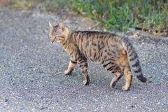 步行沿着向下街道的猫 免版税库存照片
