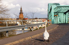 步行沿着向下街道的白色天鹅往镇 免版税库存图片