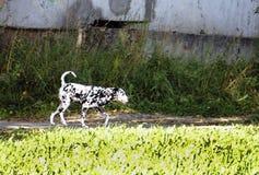 步行沿着向下街道的达尔马希亚小狗 免版税图库摄影