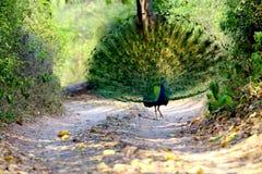 步行沿着向下足迹的孔雀在森林里 免版税库存照片