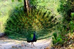 步行沿着向下足迹的孔雀在森林里 库存图片