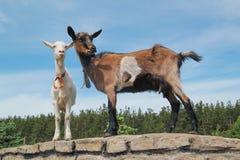 步行的两只幼小山羊 库存图片