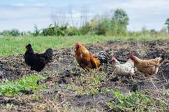 步行的公鸡与鸡的 图库摄影