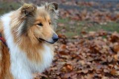 步行的红色狗品种大牧羊犬 库存照片