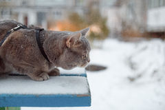 步行的苏格兰平直的猫在冬天 免版税库存图片
