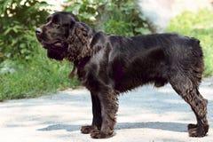 步行的英国猎犬 库存照片