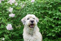 步行的逗人喜爱的微笑的南俄国牧羊犬在淡紫色灌木背景的一个夏天公园  免版税库存照片