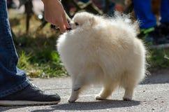 步行的Pomeranian在夏天 库存图片