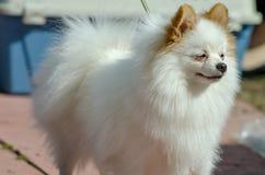 步行的Pomeranian在夏天 免版税图库摄影