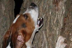 步行者咆哮在树的浣熊猎犬 免版税库存图片