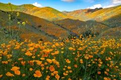 步行者峡谷在湖埃尔西诺加利福尼亚,盖在金黄鸦片野花 库存图片