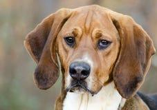 步行者猎犬被混合的品种狗 库存图片