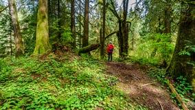 步行通过Kanaka小河地方公园温和雨林的妇女  免版税库存图片