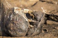 死在天旱期间,一匹河马的尸体,与在m的焦点 库存图片