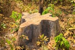 死烘干被锯的树桩在Tay安格纽,越南的高原中心 库存图片