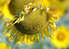 死的下垂的向日葵 库存图片
