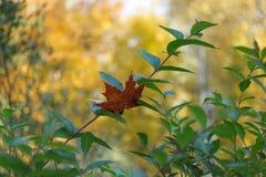 死的叶子的简单的照片背景样式在绿色灌木b的 库存照片