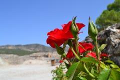 死的希拉波利斯的明亮的花在土耳其 免版税库存照片
