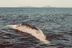 死的抹香鲸在贫寒骑士海岛,新西兰前浮出了水面 库存图片