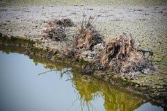死的树分开与自然水的储蓄照片 免版税库存图片