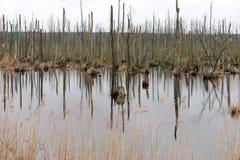 死的树在湖 在沼泽的死的树 死的树在水中 免版税库存图片