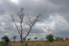 死的树在MIDDLEVELD栖所 库存图片