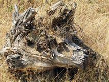 死的树根源印度,亚洲 库存图片