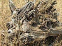 死的树根源印度,亚洲 免版税图库摄影