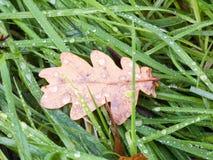 死的棕色在湿地板绿草的秋天干燥橡木叶子 免版税库存图片
