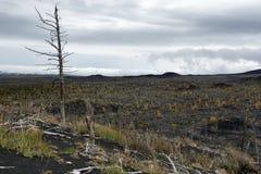 死的森林死的木头-在堪察加半岛的自然灾害 库存图片