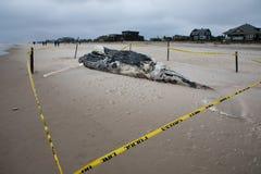死的母驼背鲸包括尾巴和在火海岛,长岛,海滩上的背鳍,与沙子在前景和大西洋 免版税库存照片
