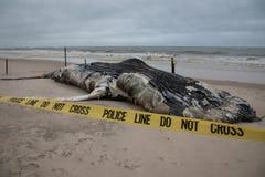 死的母驼背鲸包括尾巴和在火海岛,长岛,海滩上的背鳍,与沙子在前景和议院我 免版税库存照片