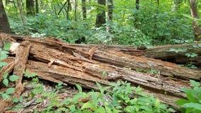 死的腐烂的树 免版税库存照片