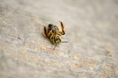 死的蜂说谎的爪子在一个木桌面 库存图片