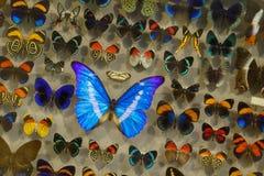 死的蝴蝶品种的博览会在船上被别住在玻璃下 免版税图库摄影