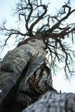 死的非常老树在有一个难以置信的木结构的优胜美地国家公园 免版税图库摄影