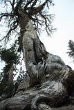 死的非常老树在有一个难以置信的木结构的优胜美地国家公园 库存图片