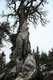 死的非常老树在有一个难以置信的木结构的优胜美地国家公园 免版税库存图片