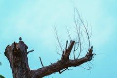 死的高大的树木的上面 库存图片