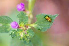 死荨麻叶子甲虫在花的Chrysolina fastuosa 免版税库存照片