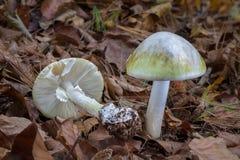 死菌盖-伞形毒蕈phalloides -致命的毒蘑菇 图库摄影