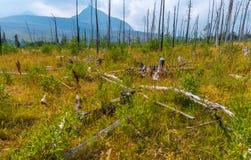 残余和复活圣玛丽& x27; s森林火灾冰川国家公园 图库摄影