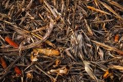 残余玉米棒子在打谷以后 库存图片