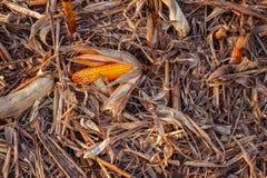 残余玉米棒子在打谷以后 免版税图库摄影